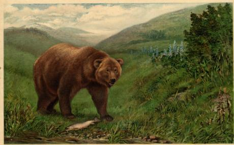 """Grizzly bear fishing,"" courtesy of C Hart Merriam Pictorial Collection at The Bancroft Library."