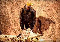 Image of Bringing the Condors Home